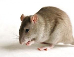 Transgenic Rats