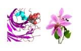 Bauhinia purpurea (BPA/BPL)